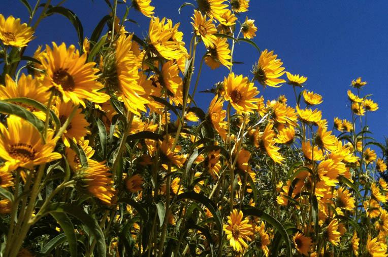 Sunflowers by Ritama Haaga